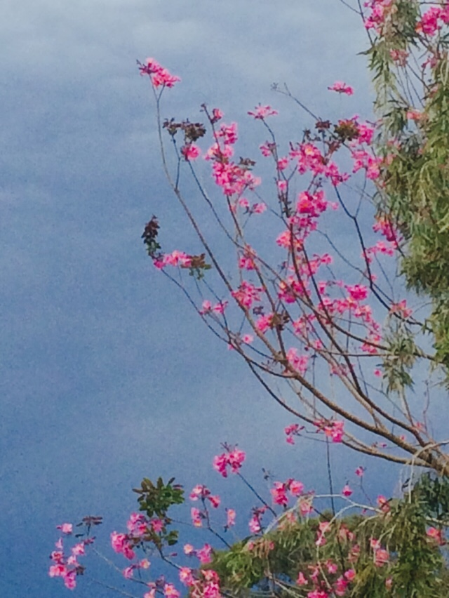 Not the best photo but I love the contrast of the flowers on my neighbour's tree against the storm clouds.
